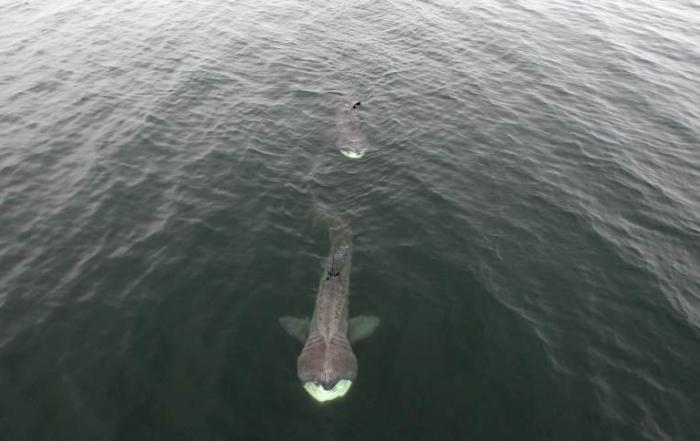 basking sharks gloucester