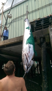 unloading a giant bluefin tuna
