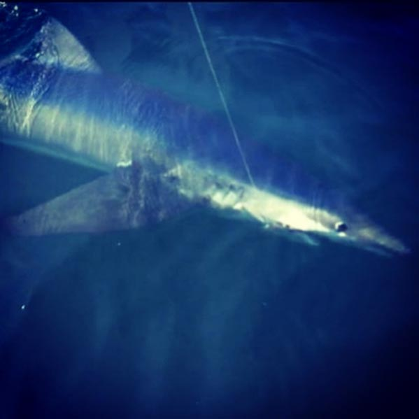 Shark fishing Charters Gloucester